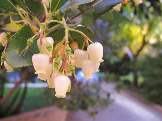 7 Flor del madroño