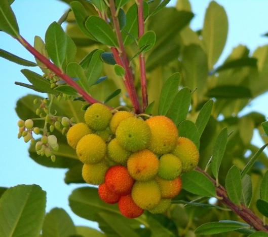 8 Fruto del madroño