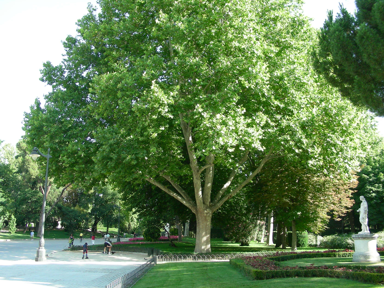Parque del retiro arbolesdemadrid p gina 5 for Arboles para sombra de poca raiz