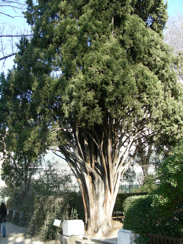 Cipr s de jard n bot nico arbolesdemadrid for Arboles del jardin botanico