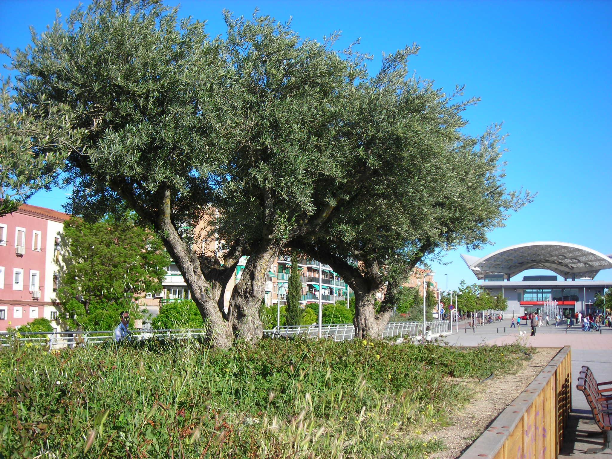 Fotos de olivos en jardines latest jardin with fotos de for Cementerio jardin del mar
