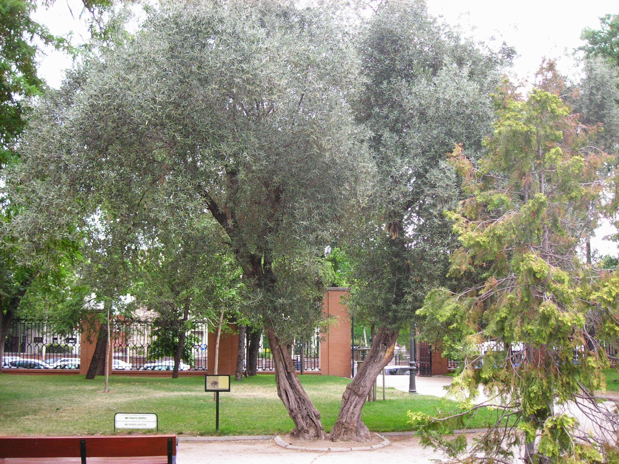 olivos de los jardines del arquitecto herrera palacios