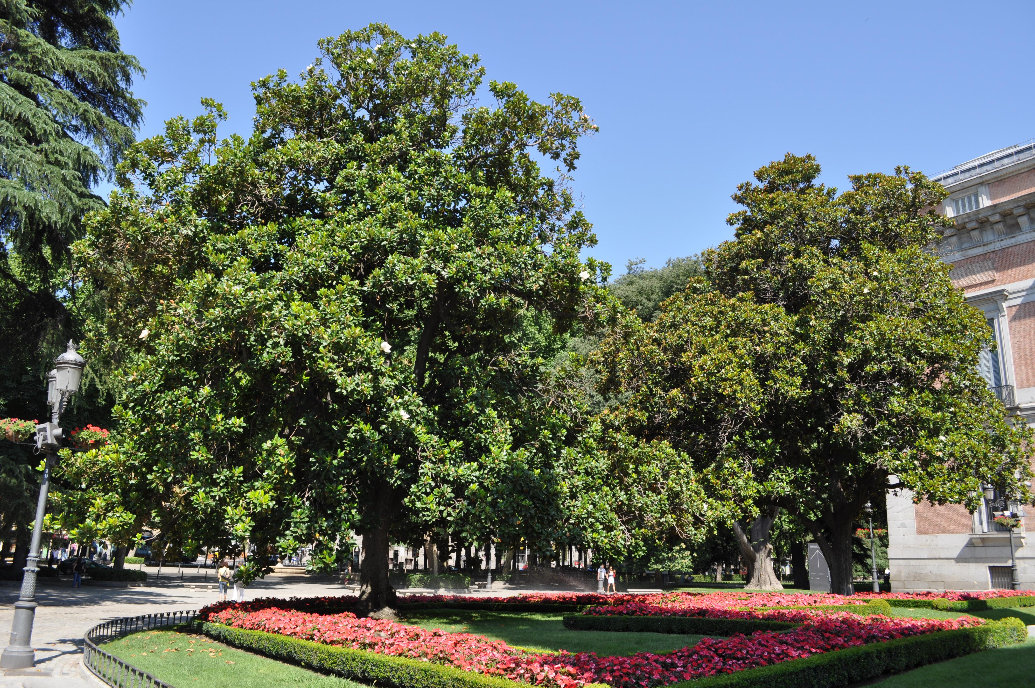 Arboles de jardin de hoja perenne excellent pinos jardin for Arboles de jardin de hoja perenne