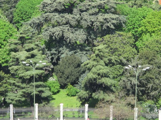 Tejo del jardín del Palacio de Buenavista