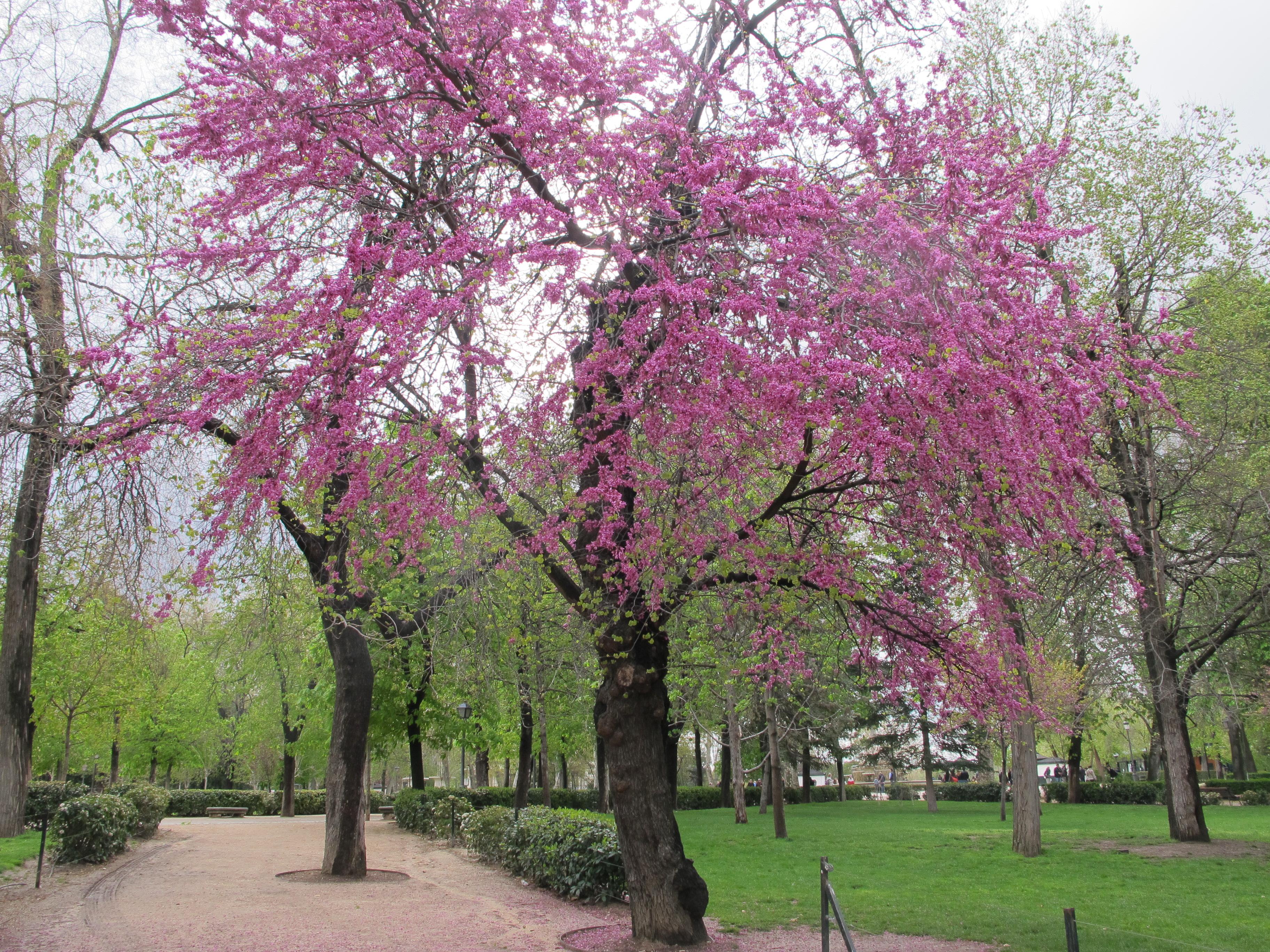 Arbol del amor arbolesdemadrid for El arbol que no tiene hojas