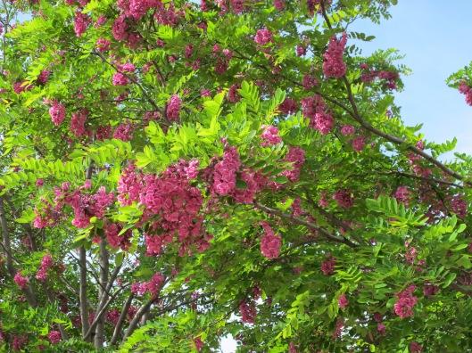 Flores de la Acacia de Constantinopla
