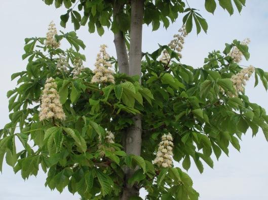 Flores del Castaño de Indias