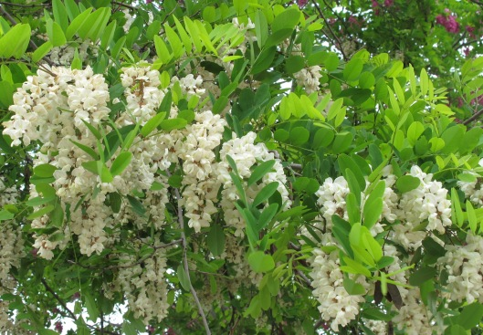 Flores de la Falsa Acacia