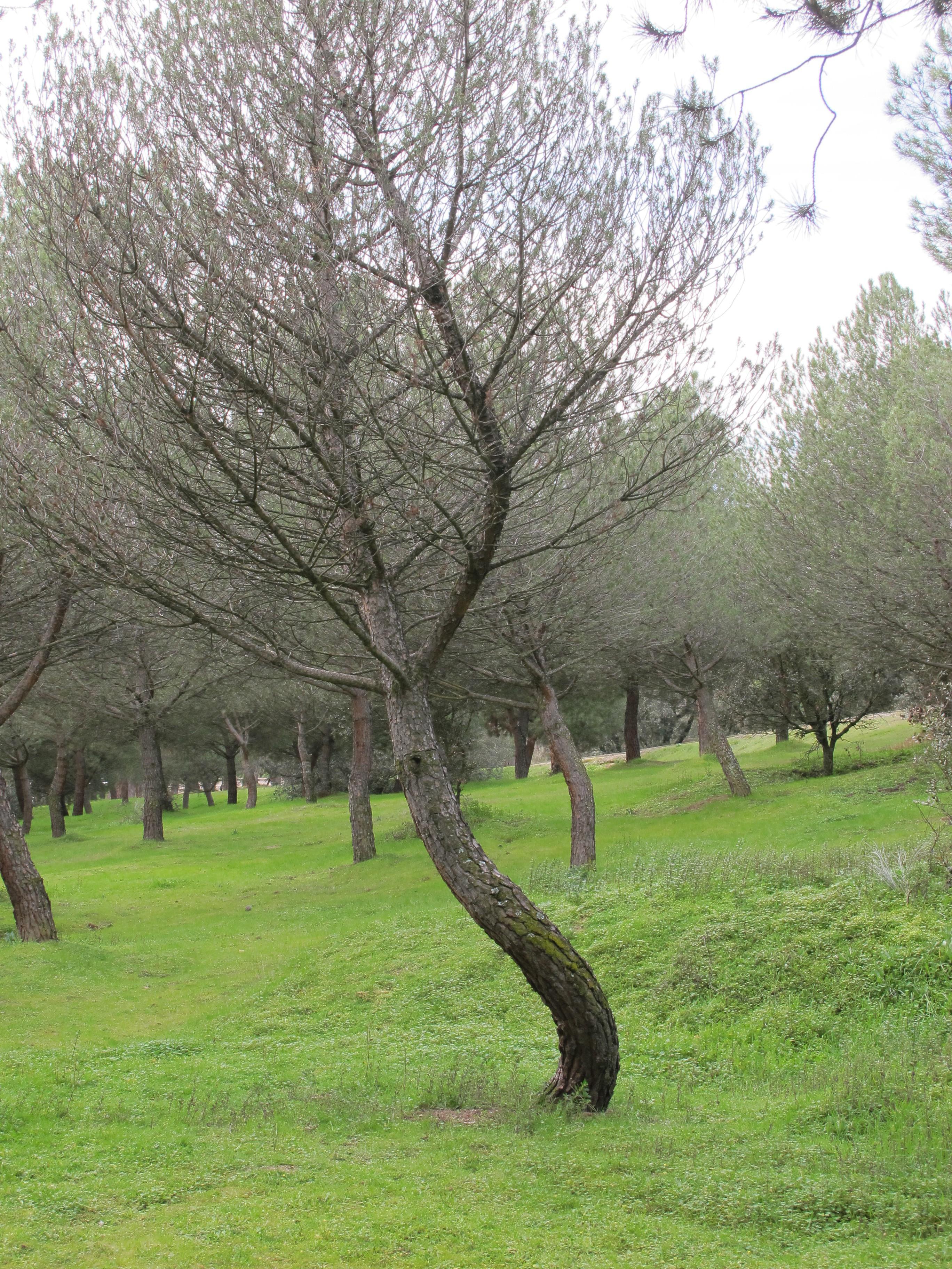 pino | ArbolesdeMadrid