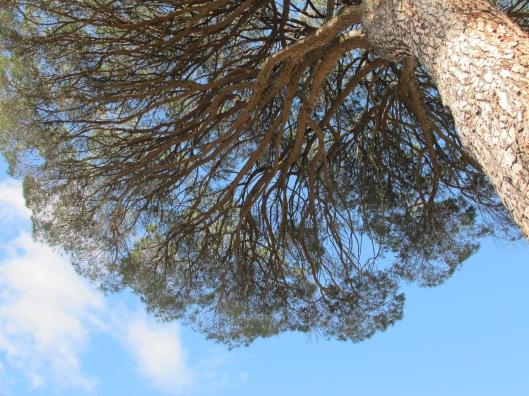 Copa del pino