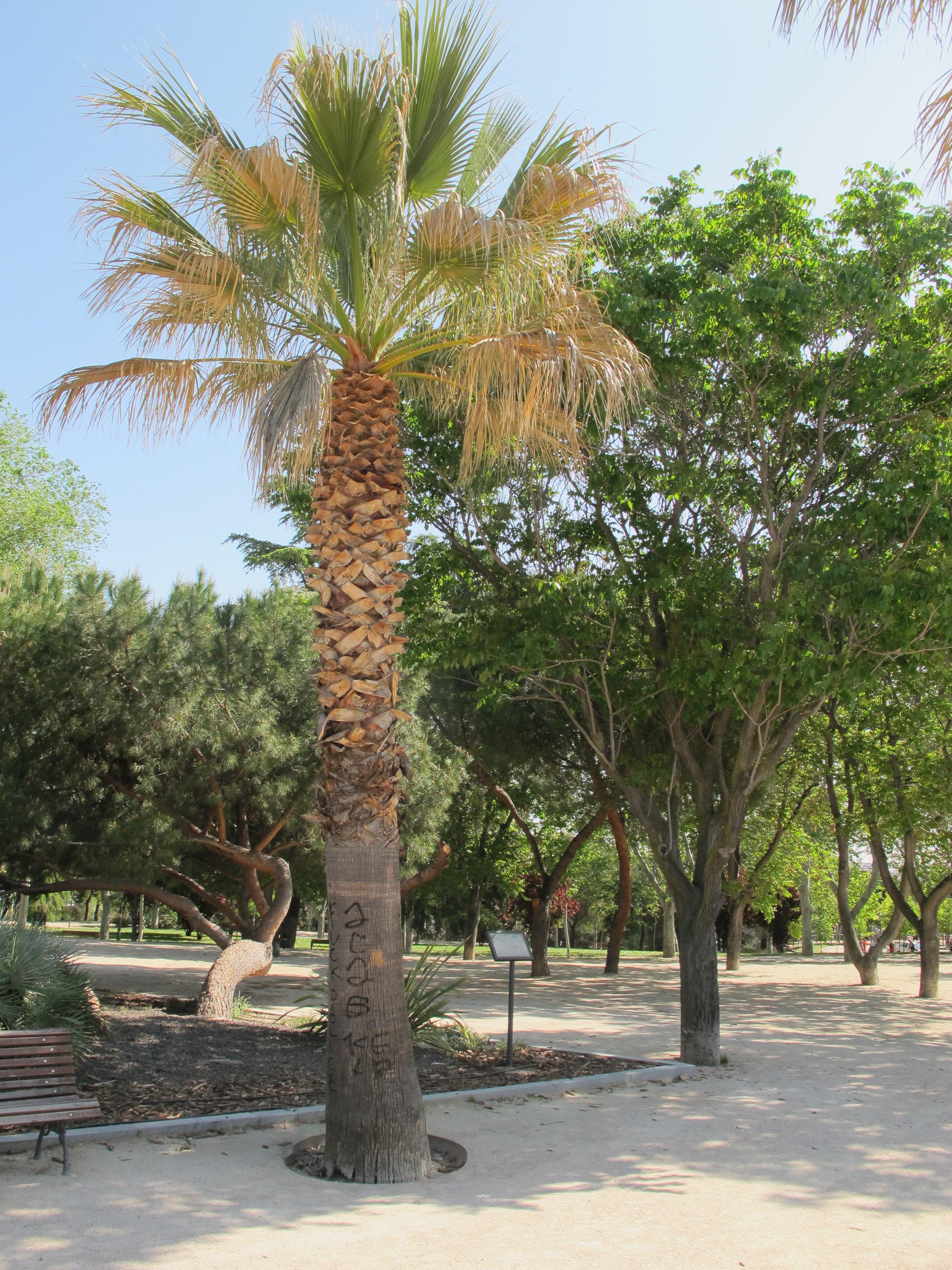 Palmera arbolesdemadrid for Jardines con palmeras