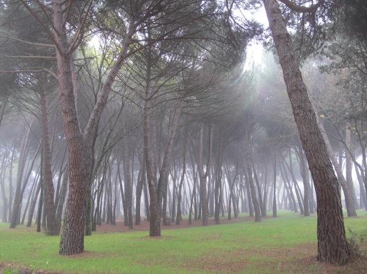Pinar en la niebla