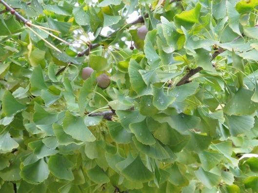 Hojas y fruto del Ginkgo Biloba